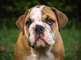 english-bulldog-3034226_1920